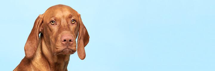Cute hungarian vizsla dog studio portrait. Dog looking at the camera headshot over blue background...