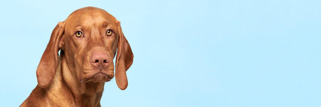 Cute hungarian vizsla dog studio portrait. Dog looking at the camera headshot over blue background banner.