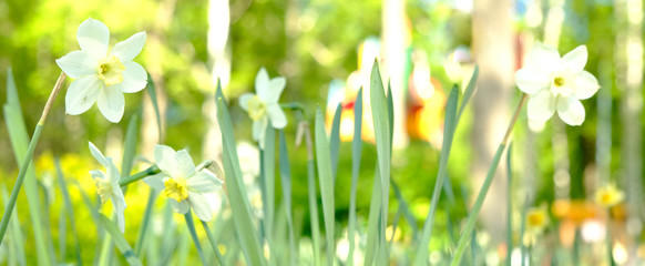 Photo sur Toile Narcisse Narcissus daffodil flowers and green leaves background.