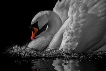 In de dag Zwaan swan lake