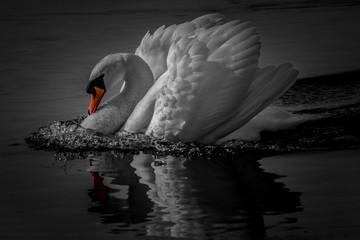 In de dag Zwaan swan lake black white orange beak pop