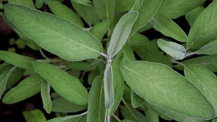 Salvia officinalis leaf. Grayish leaves of salvia herb. Sage, common sage, garden sage, golden sage, kitchen sage, true sage, culinary sage, Dalmatian sage, and broadleaf sage