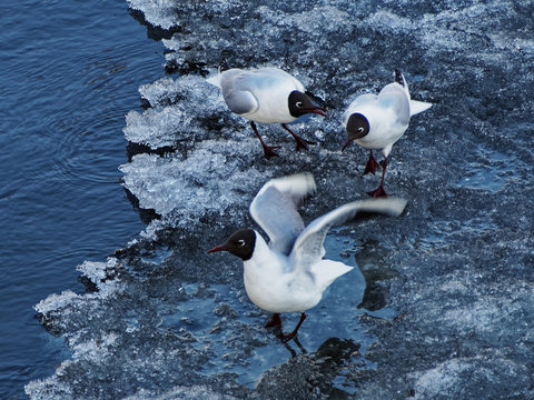 Third extra! Talking of gulls on the ice in Nevsky prospect Saint-Petersburg.