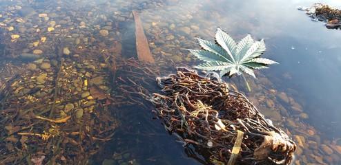 Cannabis Leaf Rocky Kelp Pool_1