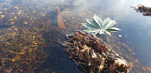 Cannabis Leaf Rocky Kelp Pool_2