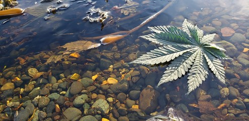 Cannabis Leaf Kelp Rock Pool_4