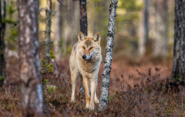 Eurasian wolf, also known as the gray or grey wolf also known as Timber wolf.  Front view....