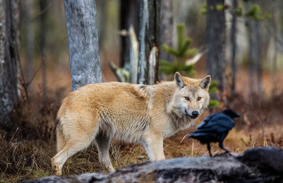 Wolf and raven. Eurasian wolf, also known as the gray or grey wolf also known as Timber wolf.  Scientific name: Canis lupus lupus. Natural habitat. Autumn forest..