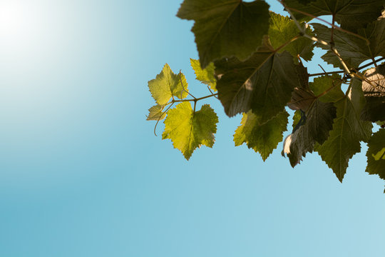 Green leaves on the sky. Fall, spring grape leaves.
