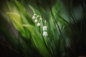 Foto op Canvas Lelietje van dalen lily of the valley closeup shot with beautiful white blossoms in the alps mountains of bavaria near the chiemsee. Macro shot in the spring.