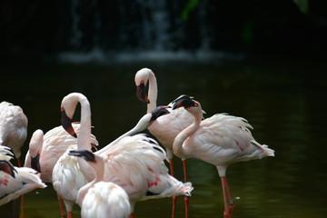 In de dag Flamingo The Flamingo/ phoenicopterus birds are feeding on the lake