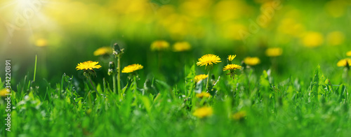 Wall mural Field with dandelions. Closeup of yellow spring flowers