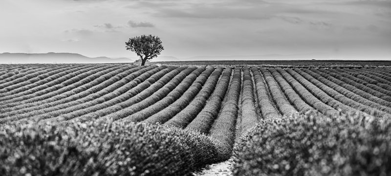 Monochrome lavender fields. Beautiful image of lavender field, artistic abstract process in black and white. Summer sunset landscape, contrasting colors. Dark clouds, dramatic sunset.