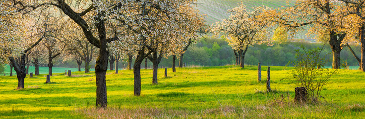 Panoarma of Orchard at Sunrise with Cherry Trees in Full Bloom