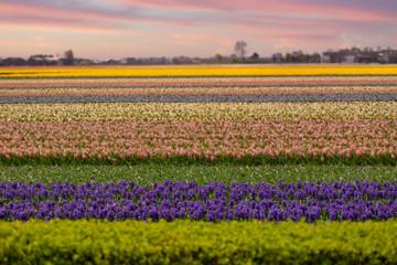 Poster de jardin Melon fields of multi-colored hyacinths bloom.