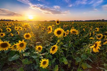 Fotobehang Zonnebloem Beautiful sunset over sunflower field