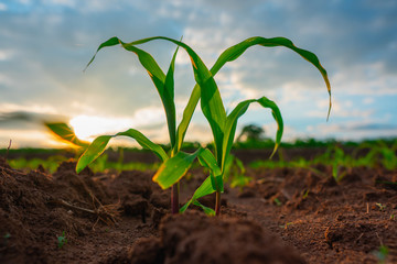 Maize seedling in agricultural garden, Growing Young Green Corn Seedling Fotomurales