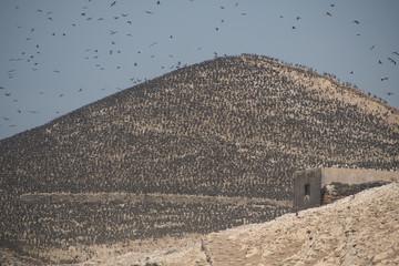 Hunderttausende Guano Kormorane auf den Balestas-Inseln