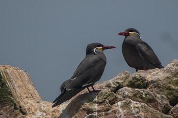 Zwei Inka Schwalben auf den Balestas-Inseln