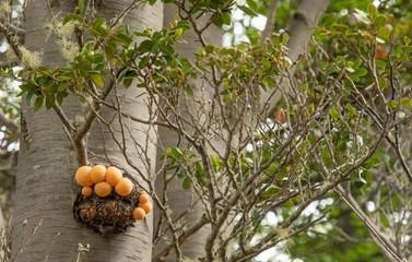 Orange FRüchte an Baum im Magellan Regewald bei Puntas Arenas
