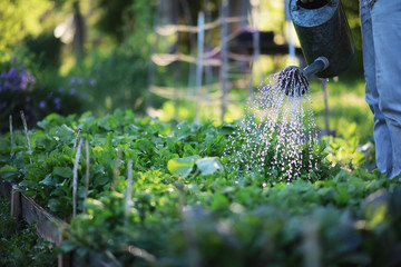 Photo sur Aluminium Jardin Man farmer watering a vegetable garden