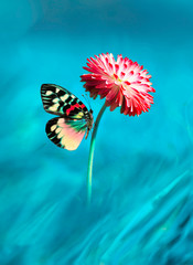 Fototapete - Beautiful multicolored colorful butterfly on bright pink magenta flower daisy macro on blue background in spring. Amazing unusual artistic image of the beauty of living nature.