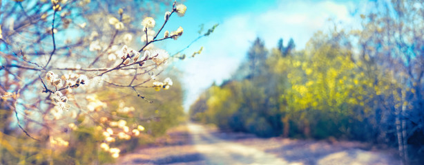 Poster de jardin Printemps Defocused spring landscape. Beautiful nature with flowering willow branches and forest road against blue sky with clouds, soft focus. Ultra wide format.