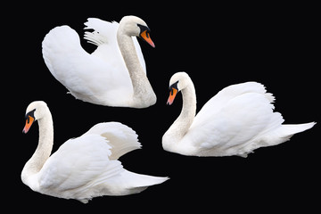 Photo sur Aluminium Cygne White swan birds set on black background