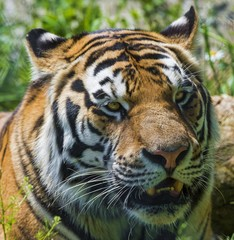 Foto op Canvas Tijger Beautiful face of a tiger with a grin