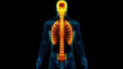 Human Skeleton System Axial Skeleton Anatomy