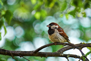 Male sparrow perched on a branch in a tree with a background of summer green leaves