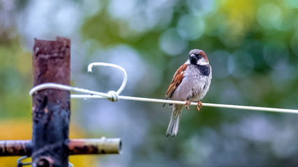 Cock sparrow sitting on a clothesline with summery greens in the background