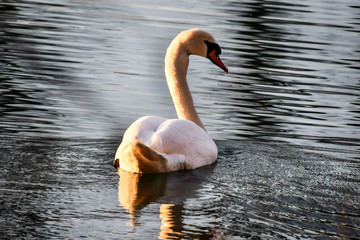 Foto op Aluminium Zwaan swan on lake, photo as a background