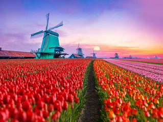 Colorful tulips farm and windmills in a dutch countryside