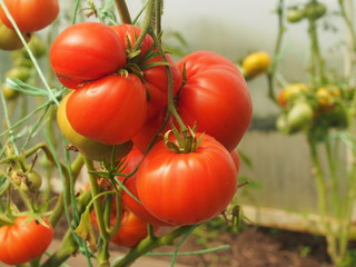 Tomatoes ripen in the greenhouse. Red, yellow and green fruits of vegetables.