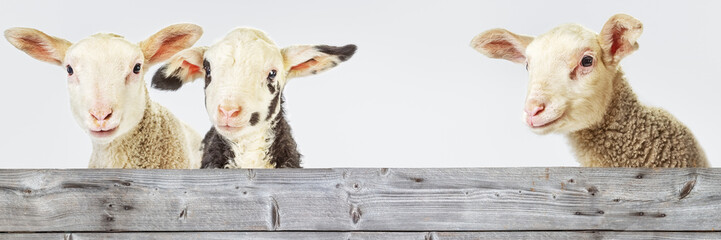 Foto op Aluminium Schapen Three Lambs behind a Board