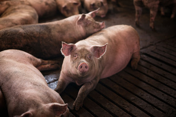 Group of pigs domestic animals at pig farm.