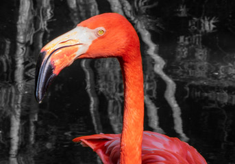 Flamingo in water close up,Tropical Wildlife, Flamingo Background Landscape, Royalty Free Stock Photography