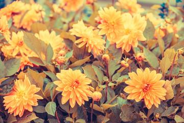 Poster de jardin Dahlia Vintage blooming Dahlia flowers in the garden in summer. Flowers nature background