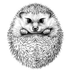 Hedgehog. Sketch, drawn, black-and-white portrait of a hedgehog on a white background.