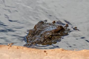 Printed roller blinds Crocodile Kopf und Augen eines Krokodils über Wasser