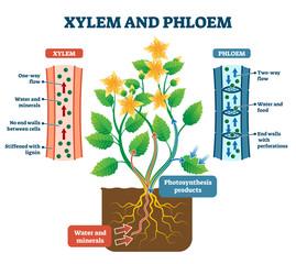 Xylem and phloem vector illustration. Labeled plant transportation scheme.