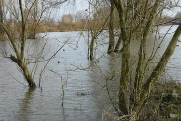 high tide flooded trees in a meadow near river IJssel