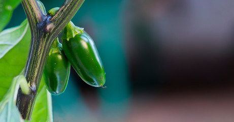 Organic jalapeño (Capsicum annuum) peppers on a jalapeno plant. Close-up photo. Very hot and healthy green, chili peppers.