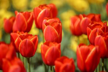 Photo sur Aluminium Rouge チューリップの花畑