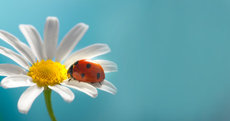 Poster Spring red ladybug on camomile flower, ladybird creeps on stem of plant in spring in garden in summer