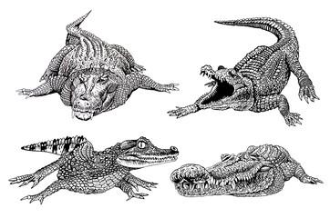 Graphical set of crocodiles  isolated  on white background, jpg illustration