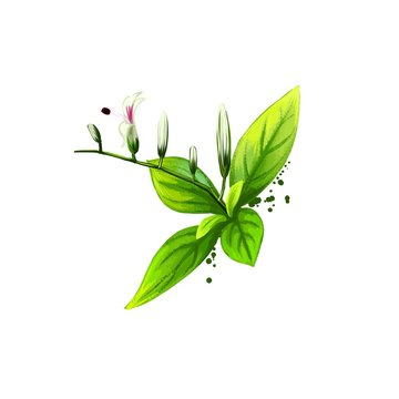 Kalmegh - Andrographis paniculata ayurvedic herb, flower. digital art illustration with text isolated on white. Healthy organic spa plant used in treatment, for preparation medicines natural usage