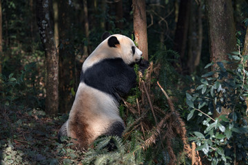 Wall Mural - Side Profile Photograph Panda Bear