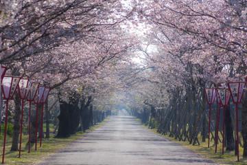 Keuken foto achterwand Kersenbloesem 母智丘神社の桜